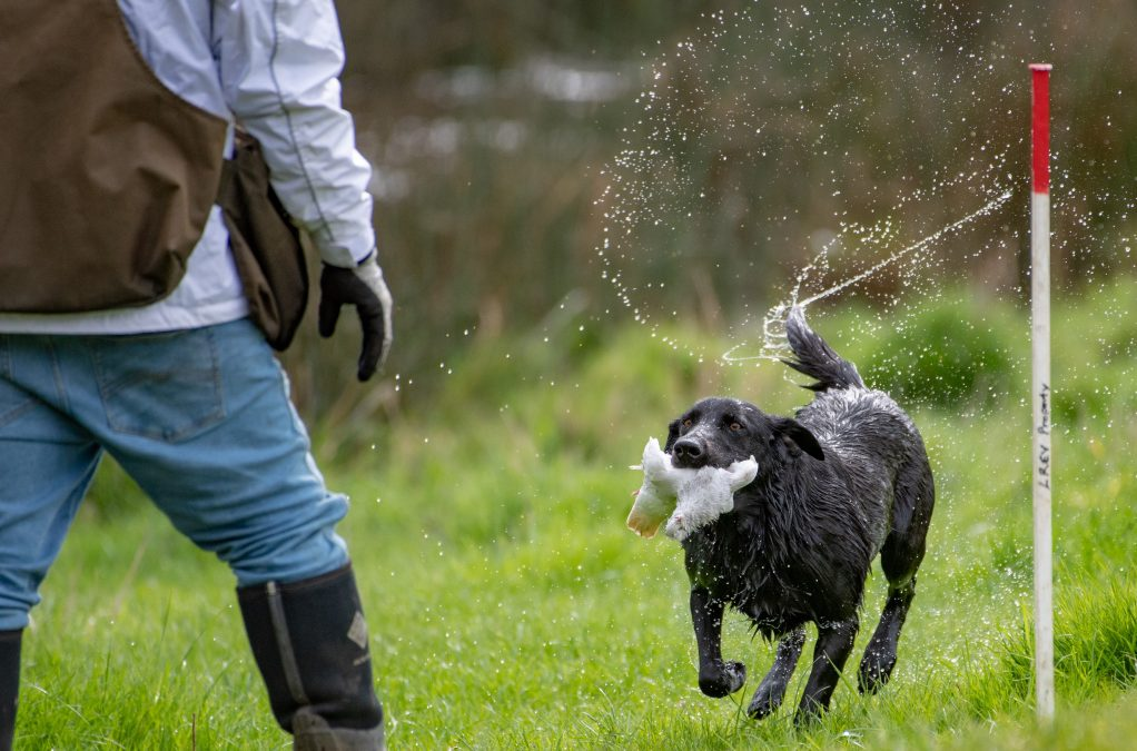 Gun Dog Demonstrations presented by Field & Game